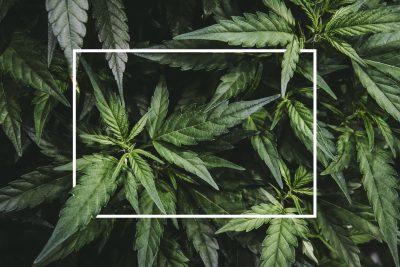 Mature,Marijuana,Plant,With,Bud,And,Leaves.,Texture,Of,Marijuana